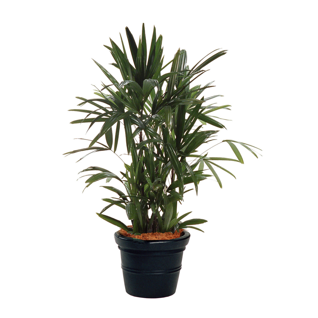 PaudhaHouse Raphis Palm With Grower Pot