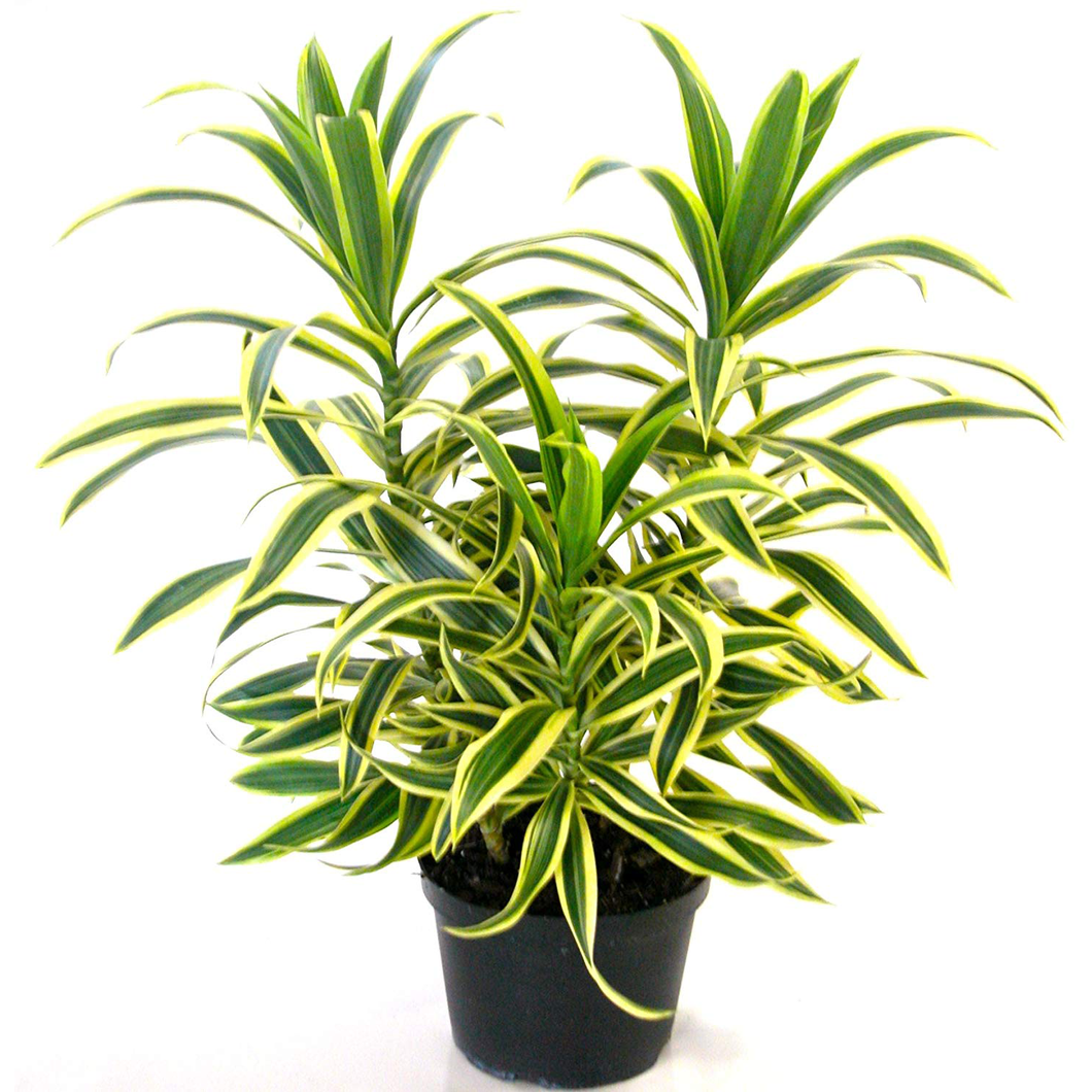 PaudhaHouse Song Of India Plant With Grower Pot