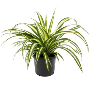 PaudhaHouse Spider Plant With Grower Pot