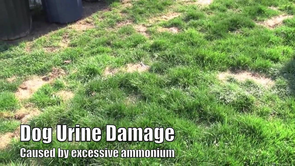 Urine Burns on Your Lovely Lawn
