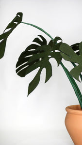 Monstera deliciosa / Costilla de Adán - M