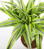 Dracaena Lemon & Lime