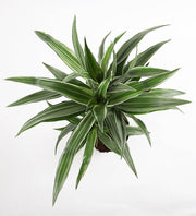 Dracaena Fragrans Warneckei