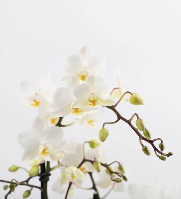 White Orchid & Pot