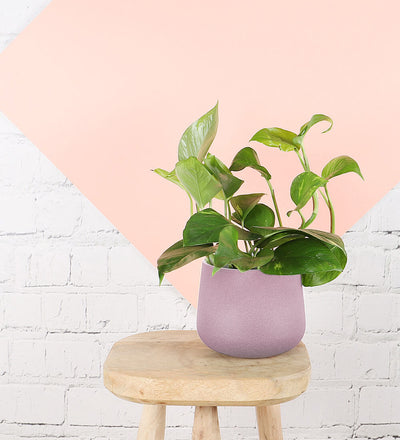 Golden Pothos & Pink Pot