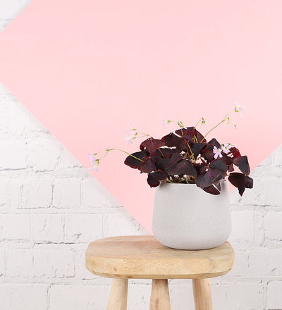 Oxalis Triangularis & Pot