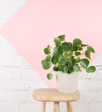Money Plant & Grey Diamond Cut Pot