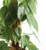 Tall Philodendron Scandens