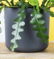 Large Fishbone Cactus & Black Pot