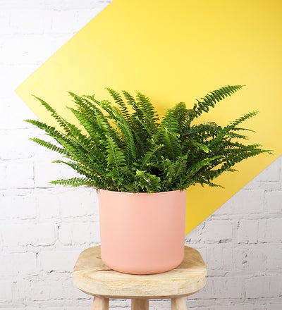 Large Boston Fern & Pink Pot
