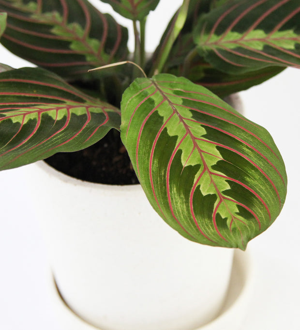 Prayer Plant & White Pot