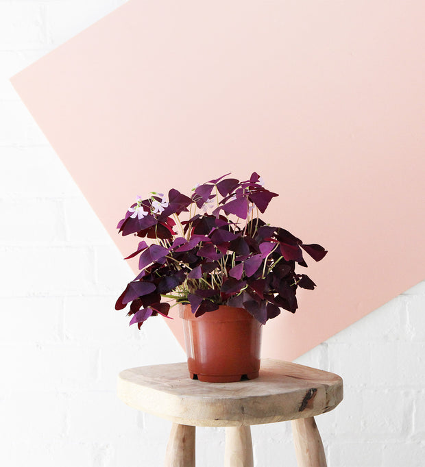Oxalis Triangularis & White Ceramic Pot