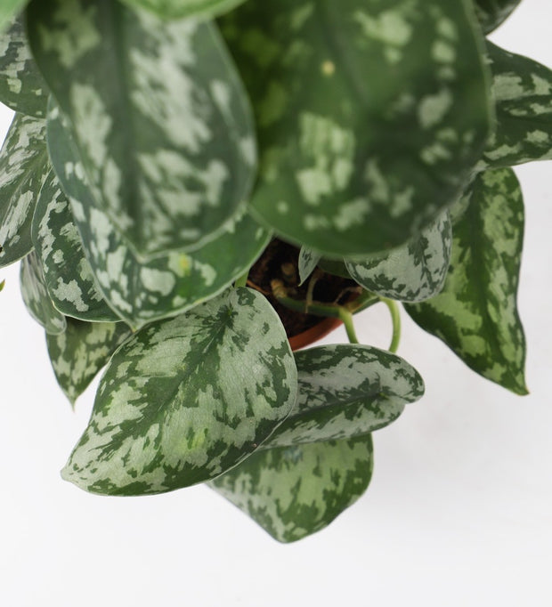 Tall Satin Pothos
