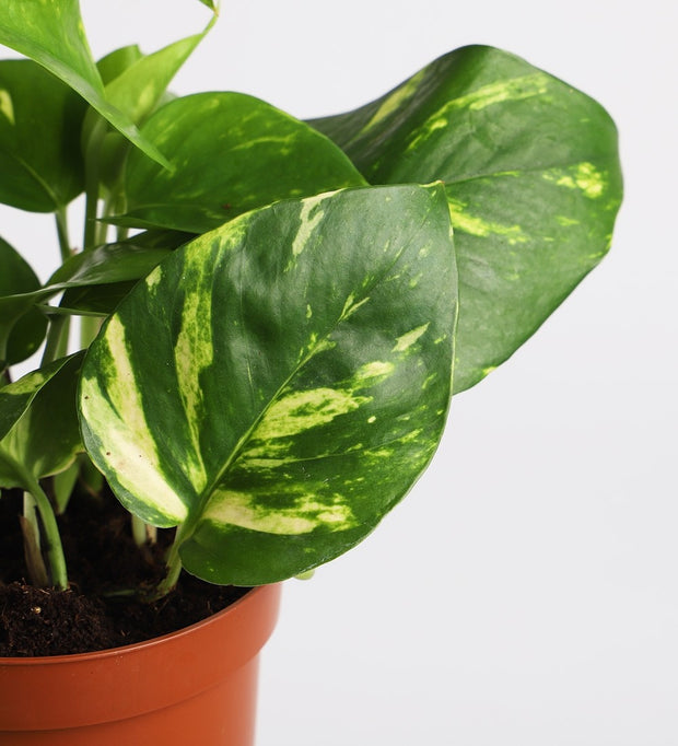 Golden Pothos & Pot
