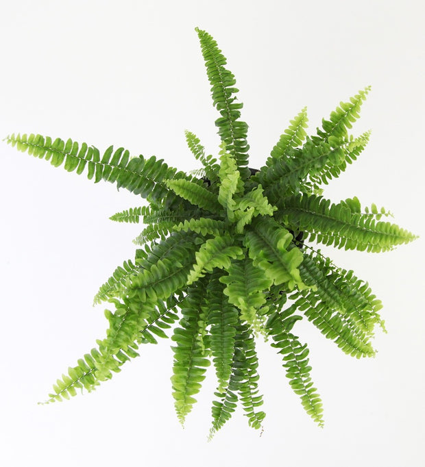 Boston Fern & Pot