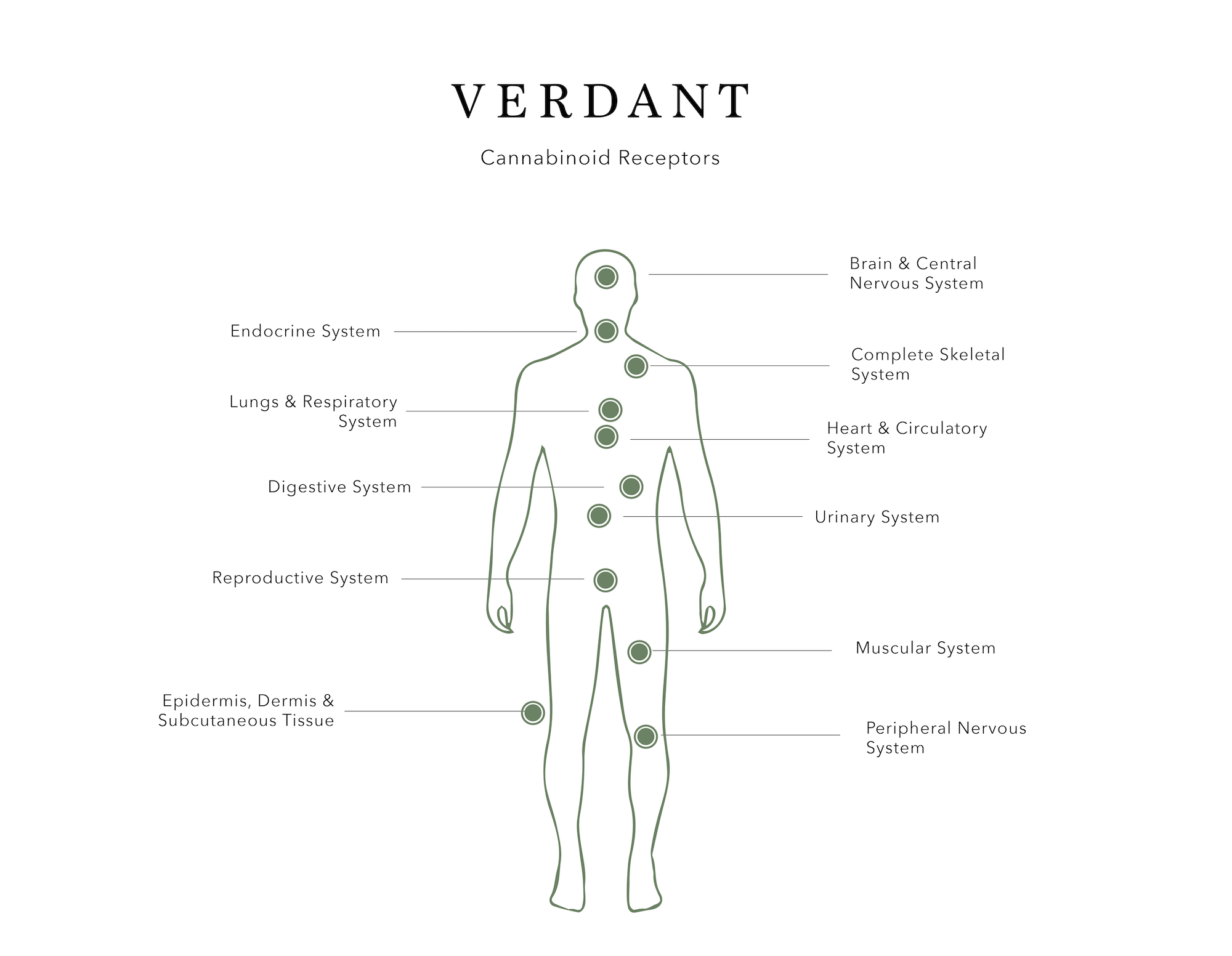 Verdant Full Spectrum THC Free Hemp Extract – Cannabinoid Receptors and the Endocannabinoid System