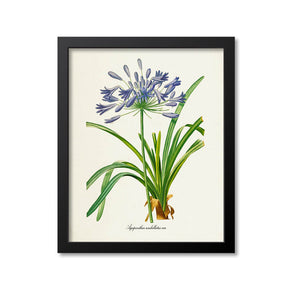 Lily of the Nile Flower Art Print