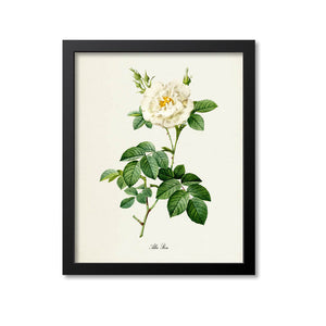 Alba Rose Flower Art Print
