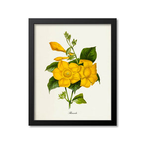 Allamanda Flower Art Print, Yellow Flowering Vine