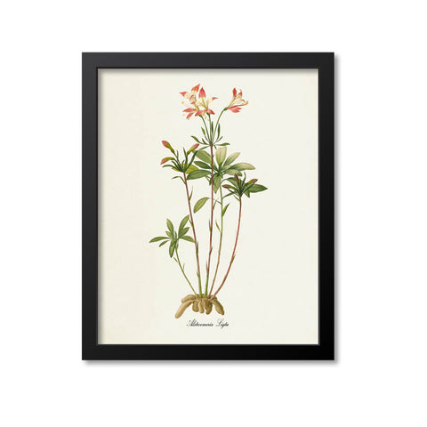 Amaryllis Flower Art Print, Alstroemeria Ligtu, Lily of the Incas