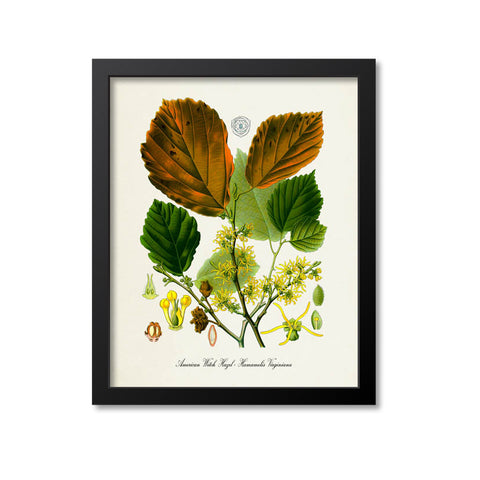 American Witch Hazel Botanical Print