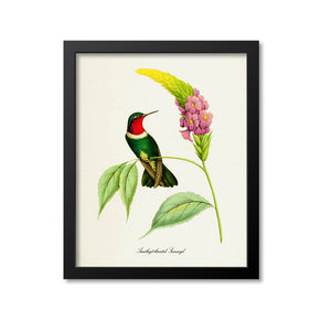 Amethyst-throated Sunangel Hummingbird Print