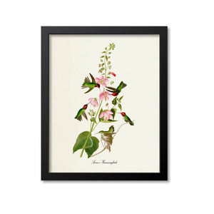 Anna's Hummingbirds Print