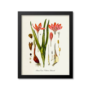 Autumn Crocus Botanical Print