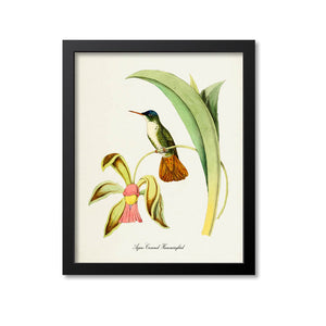 Azure-Crowned Hummingbird Print