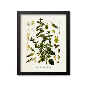 Balm Mint Botanical Print