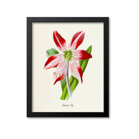 Barbados Lily Flower Art Print