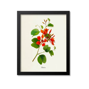 Bauhinia Flower Art Print, Red