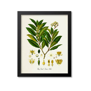 Bay Laurel Botanical Print