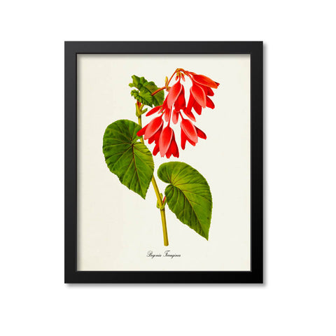 Begonia Ferruginea Flower Art Print