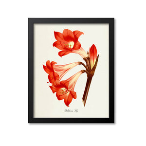 Belladonna Lily Flower Art Print