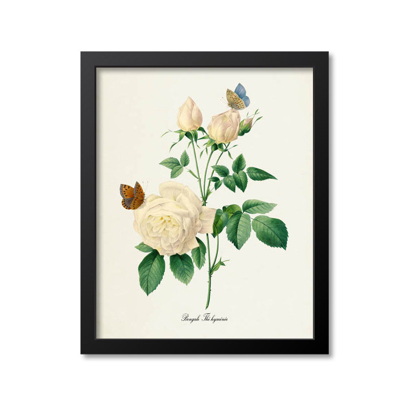 Bengale The hymenee Flower Art Print