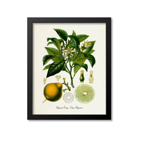 Bergamot Orange Botanical Print