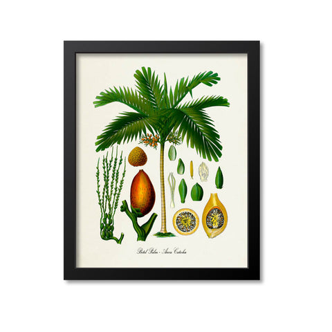 Betel Palm Tree Botanical Print