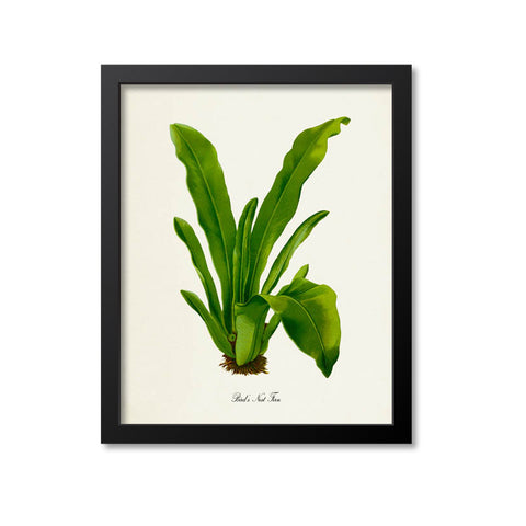 Bird's Nest Fern Art Print