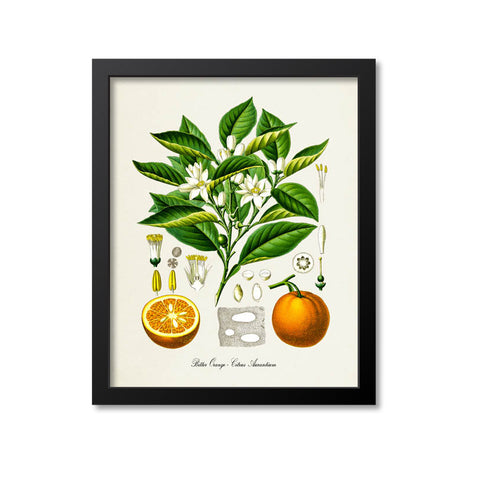 Bitter Orange Botanical Print