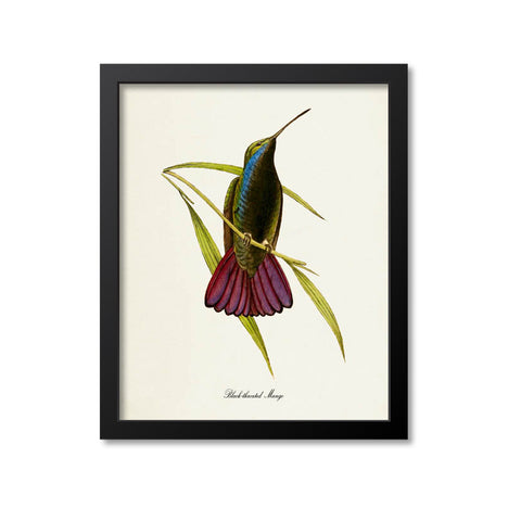 Black-throated Mango Hummingbird Print