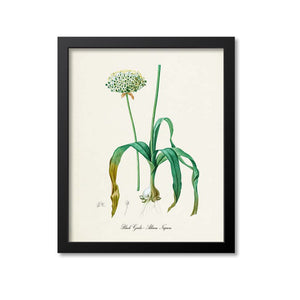 Black Garlic Botanical Print