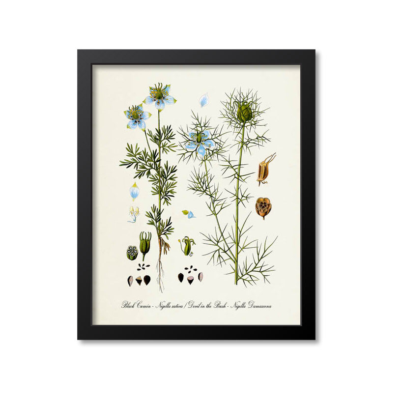 Black Cumin Botanical Print, , Devil in the Bush