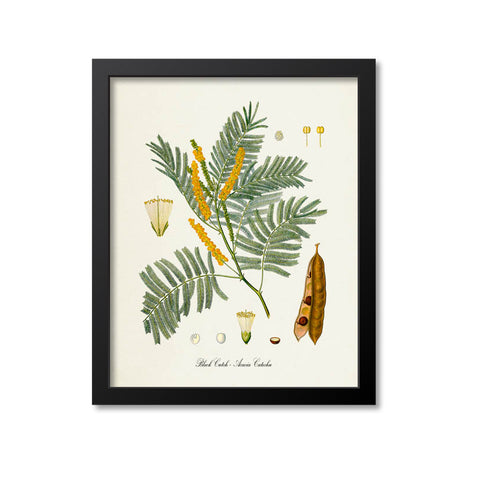 Black Cutch Botanical Print