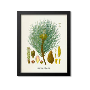 Black Pine Botanical Print