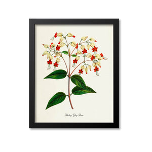 Bleeding Glory-Bower Flower Art Print, Bleeding Heart