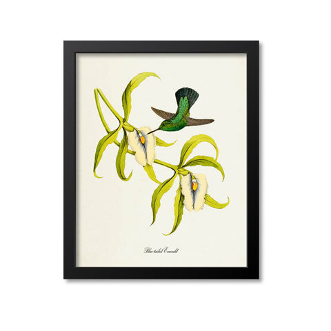 Blue-tailed Emerald Hummingbird Print