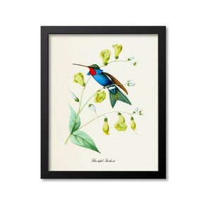 Blue-tufted Starthroat Hummingbird Print