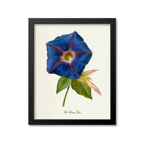 Blue Morning Glory Flower Art Print