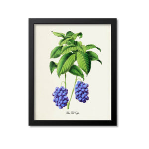 Blue Wild Coffee Botanical Print